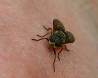 Horsefly on skin Royalty Free Stock Images