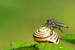 Horsefly on a snail Royalty Free Stock Photography