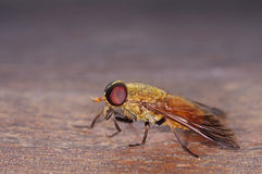 Horsefly Royalty Free Stock Image