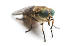 Horsefly viewed facing, Tabanus, isolated. On white Stock Photography