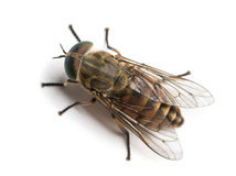 Horsefly viewed from up high, Tabanus, isolated Royalty Free Stock Image