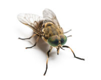 Horsefly viewed from up high, Tabanus, isolated Stock Photography