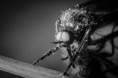 Horsefly w makro- i monochromatycznym Obraz Stock