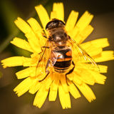 Horsefly on a yellow flower. An horsefly on a big yellow flower in a summer day in Italy Royalty Free Stock Photo