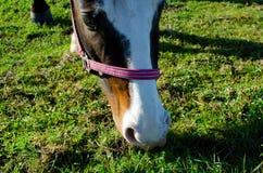 Horsehead Lizenzfreies Stockfoto