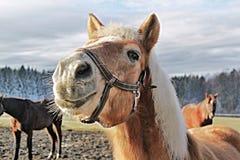Horsehead Stock Afbeelding