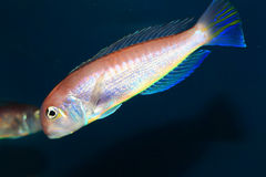 Horsehead tilefish Stock Images
