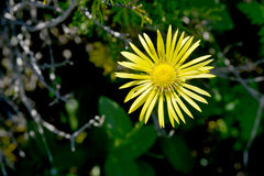 Horseheal/ or Inula Royalty Free Stock Photography