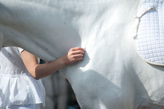 Horsemanship. White horse in white equipement and child hand Royalty Free Stock Images