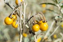 Horsenettle tossico, carolinense del solano, pianta Immagini Stock Libere da Diritti