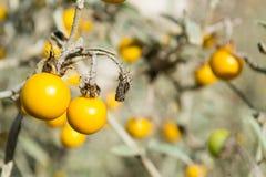 Horsenettle tossico, carolinense del solano, pianta Fotografia Stock Libera da Diritti