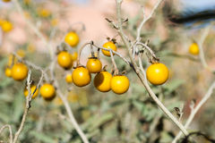 Horsenettle toxique, carolinense de solanum, usine Photos stock