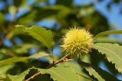 Horsenut / buckeye Stock Photography