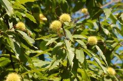 Horsenut/maronnier américain Images libres de droits