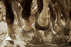 Horsepower & Hooves (Sepia). Close-up of the legs and hooves of a powerful team of Belgian Draft Horses as they pull a heavy load together with speed - can stock photos