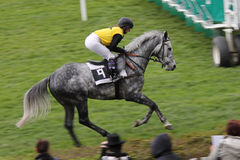 Horserace. Grey horse running to start the race Stock Photos