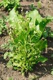 Horseradish (Cochlearia armoracia) okwitnięcie Zdjęcie Royalty Free