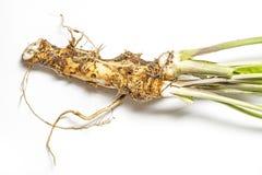 Horseradish detail royalty free stock image