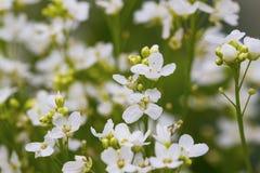 Horseradish flowers Stock Photography