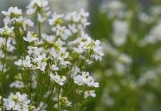 Horseradish flowers Stock Image
