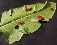 Horseradish leaf and currant Stock Photo