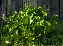 Horseradish plant Royalty Free Stock Image