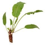 Horseradish roślina obraz royalty free