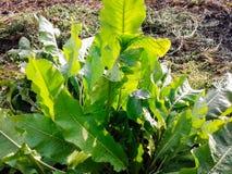 Horseradish w ogródzie obrazy royalty free