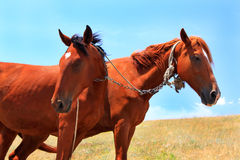 Horses. Close up two horses in steppe Stock Photography