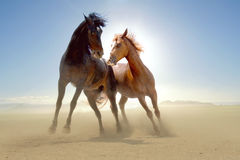 Horses. Two horses in the desert