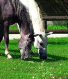Horses. Two beautiful horses eating grass Stock Photography