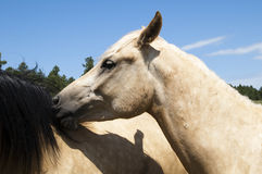 Horses. A pair of horses playing Royalty Free Stock Photography