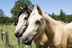 Horses. A pair of curious horses at the fence Stock Image