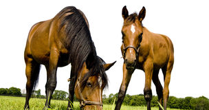 Horses. A mare and yearling in a horse farm Royalty Free Stock Photo