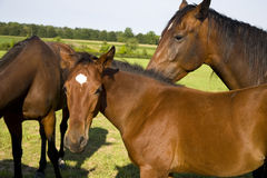 Horses. A mare and yearling in a horse farm Stock Photography