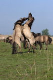 Horses. Two horses are fighting for a lady Stock Image