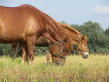 Horses. Two horses - mother and child Stock Photo
