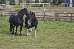 Horses. In the field whispering Royalty Free Stock Photo