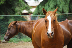 Horses. Two beautiful brown horses in the farm Stock Photo