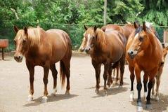Horses. Beautiful brown horses on the farm Royalty Free Stock Photo