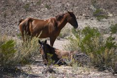 Horses. In Texas - Big Bend National Park Stock Photography