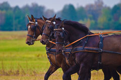 Horses. Brown horses competed in the recoiling of sunny days in the afternoon stock photography
