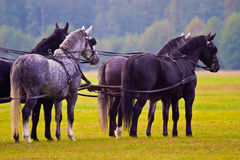 Horses. Brown horses competed in the recoiling of sunny days in the afternoon royalty free stock photo