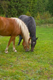 Horses. Are grazed on a meadow Royalty Free Stock Photo