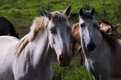Horses. Two horses in the field Royalty Free Stock Photography