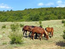 Horses. Grazing on a green meadow next to the mountain range Royalty Free Stock Photos