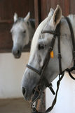 Horses. Heads of two white horses Royalty Free Stock Photography