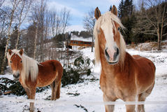 Horses. At the ranch on a shinny winter day Stock Photos
