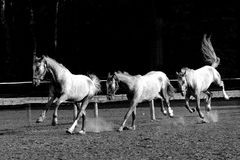 Horses. White horse running on the sandy paddock - sequence Royalty Free Stock Photography