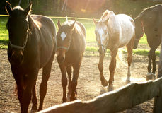 Horses. Four horses walking slowly in the  morning  sun Royalty Free Stock Images